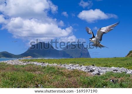 Sooty Tern (Sterna fuscata) at colony at North Bay on Lord Howe Island - stock photo