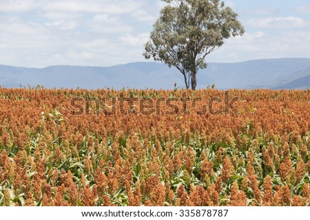 sorghum, a cereal grain, is the fifth most important cereal crop in the world, largely because of its natural drought tolerance and versatility as food, feed and fuel