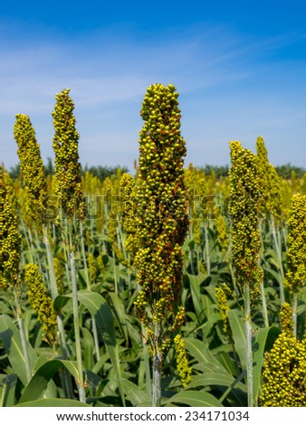 Sorghum field in Thailand - stock photo