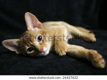 Sorrel Abyssinian kitten - stock photo