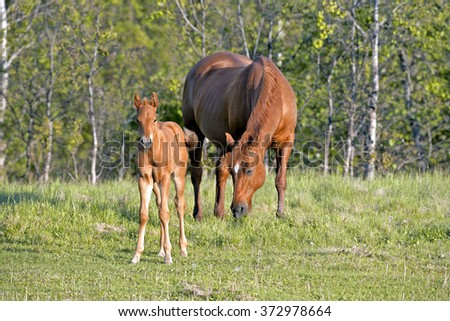 Sorrel Quarter horse Mare and Foal together in meadow - stock photo