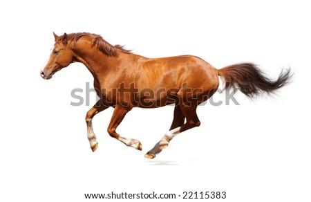 Sorrel trakehner stallion isolated on white - stock photo