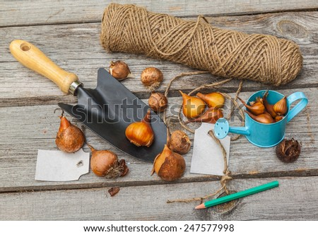 Sort tulip bulbs in size and name of the variety - stock photo