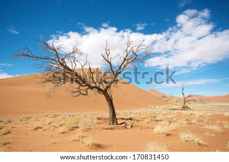 Sossusvlei tree in front of dune - stock photo