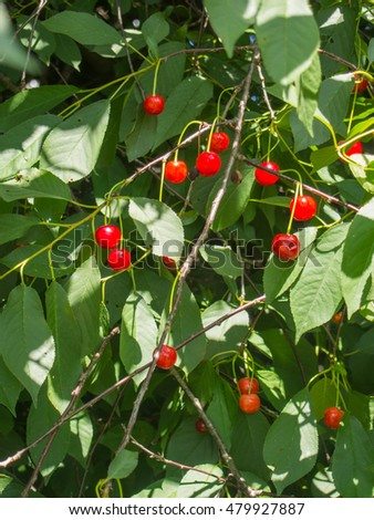 Sour cherry (Prunus cerasus) is a species of Prunus in the subgenus Cerasus (cherries), native to much of Europe and southwest Asia.