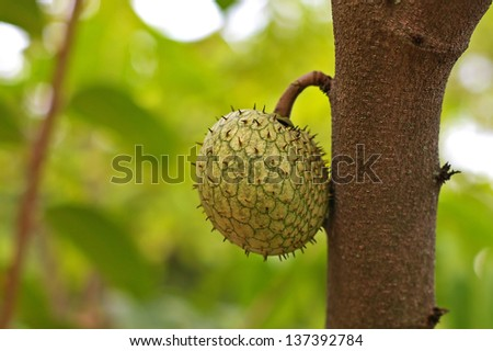 sour sop fruit on the tree in the garden - stock photo