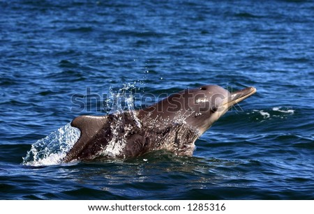 Sousa Chinensis (Humpback Dolphin) surfacing in South Africa - stock photo