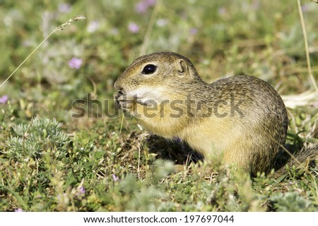 Souslik or European Ground Squirrel (Spermophilus citellus) - stock photo