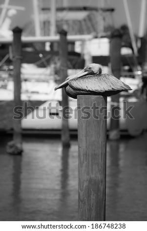 Sout west Florida coast pelican - stock photo