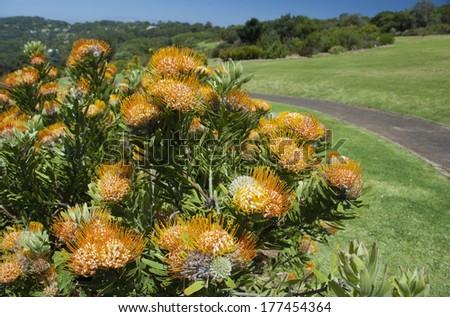 South Africa, Cape Town, Kirstenbosch National Botanical Garden. Orange pincushion protea (Leucospermum erubescens) - AKA Oranjevlam Speldekussing or Bergfynboss. - stock photo