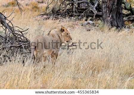 South Africa. Kalahari Desert. June 2016. Young male lion in he Nossob River Bed, Kgalagadi Desert.
