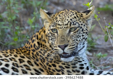 South Africa - Kruger National Park - leopard