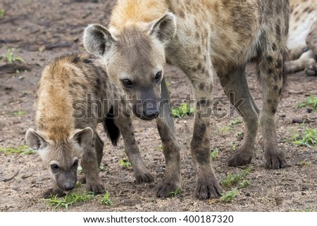 South Africa - mother and child spotted hyenas with identical pose - stock photo
