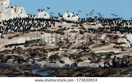 South African (Cape) fur seals (Arctocephalus pusillus pusillus), Seal Island, False Bay, Western Cape, South Africa, Africa - stock photo