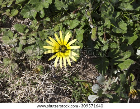 South African dandelion or Cape weed arctotheca calendula  in bloom  in late winter is a  common prostrate spreading weed  with sunny yellow single blooms attracting bees to the field or garden. - stock photo