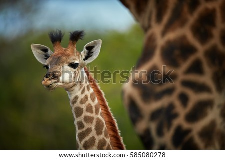 South African giraffe, Giraffa giraffa, portrait of curious young giraffe staring directly at camera behind mothers neck. Kapama, Kruger area, South Africa.
