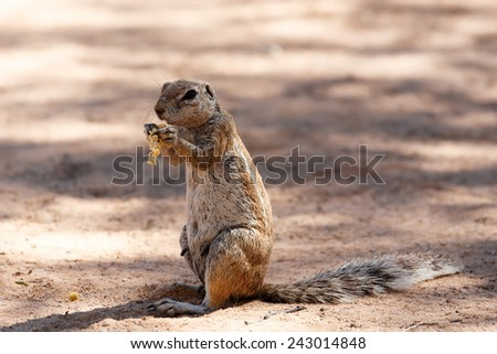 South African ground squirrel Xerus inauris,with tail eats food,Kalahari, South Africa  - stock photo