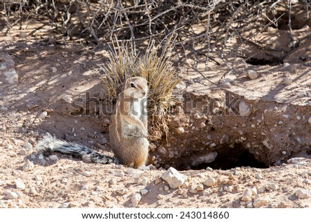 South African ground squirrel Xerus inauris,with tail, Kalahari, South Africa  - stock photo