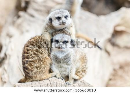 South African Meerkat - stock photo