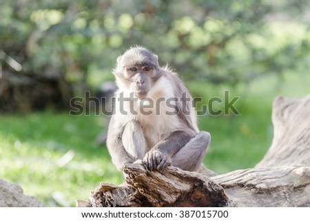 South African monkey. - stock photo