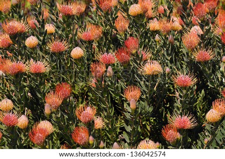 South African Pincushion Protea Plant - stock photo