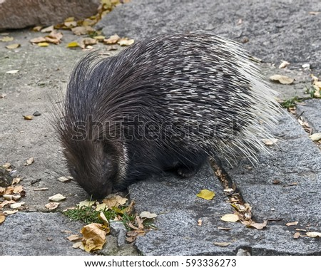 South african porcupine. Latin name - Hystrix africae australis.