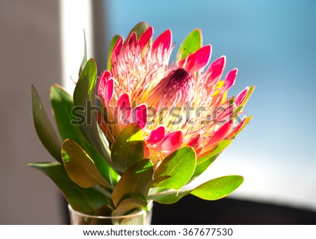 South African Protea flower - stock photo