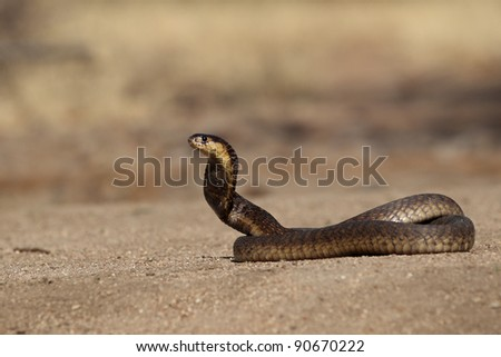 South African Snouted Cobra