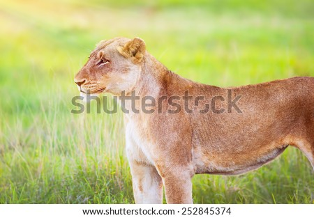 South African wild lioness, portrait of beautiful animal on fresh green grass field, big five, game drive, beauty of wildlife - stock photo