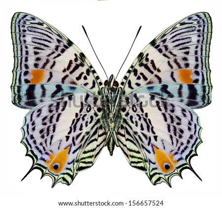 South America butterfly Baeotus aeilus isolated on white background (underside) - stock photo