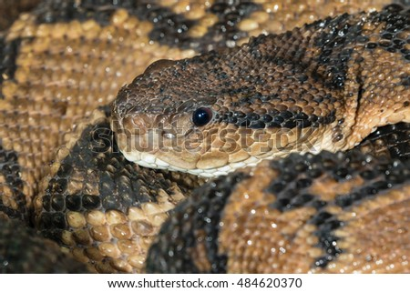 South American Bushmaster (Lachesis muta) portrait, captive (native to South America), Moody Gardens, Galveston, Texas, USA