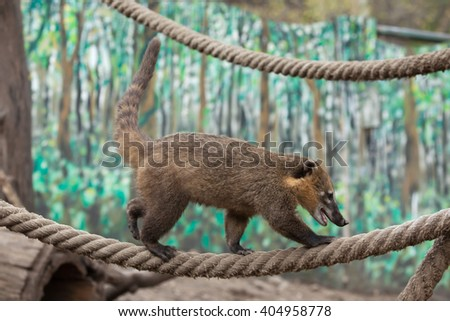 South American coati (Nasua nasua), also known as the ring-tailed coati. Wild life animal.  - stock photo
