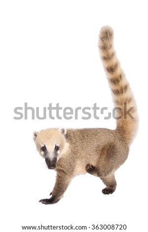 South American coati, Nasua nasua, baby isolated on white background