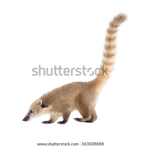 South American coati, Nasua nasua, baby isolated on white background - stock photo