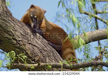 South American Coati, or Ring-tailed Coati (Nasua nasua) lying in tree - stock photo