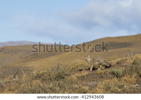 South American Grey Fox (Lycalopex fulvipes) on a hillside in Torres del Paine National Park in the Magallanes region of southern Chile. - stock photo