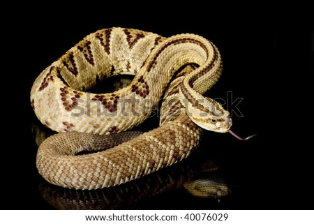 South American rattlesnake (Crotalus durissus) isolated on black background - stock photo