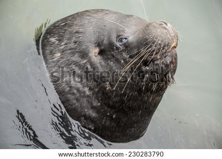 South American Sea Lion - Otaria Flavescens - Chile / South American Sea Lion - Closeup - stock photo