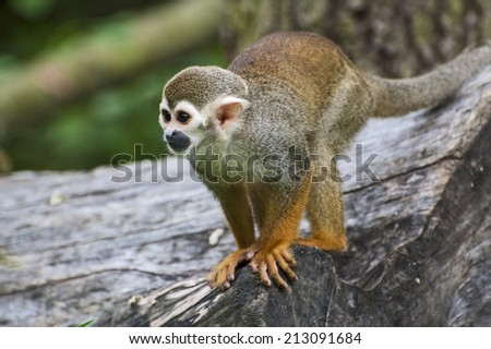 South American Squirrel Monkey - stock photo