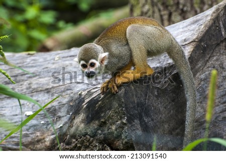 South American Squirrel Monkey (Saimiri sciureus)   - stock photo
