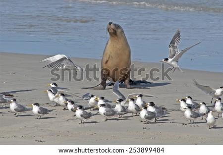 South Australia Kangaroo island Seal Bay  Australian sea lion colony. - stock photo