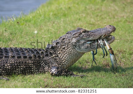 South Carolina alligator enjoys the seafood on Hilton Head Island - stock photo
