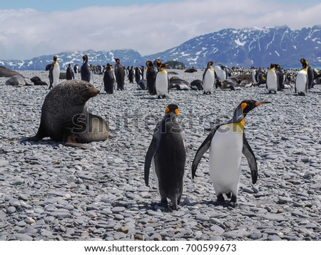 South Georgia Island. Two adult king penguins in the foreground with large fur seal on pebble beach. During mating and breeding season.