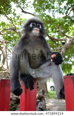 South Langur or Dusky leaf monkey is residents in Thailand