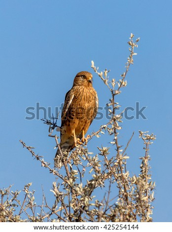 Southem yellow-billed hawk sitting on a Bush of acacia against the blue sky in the Etosha National Park - Namibia, South-West Africa - stock photo