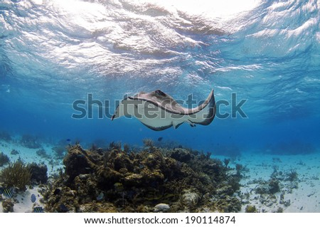 Southern Atlantic Stingray swimming of the Coral Reef, Grand Cayman - stock photo