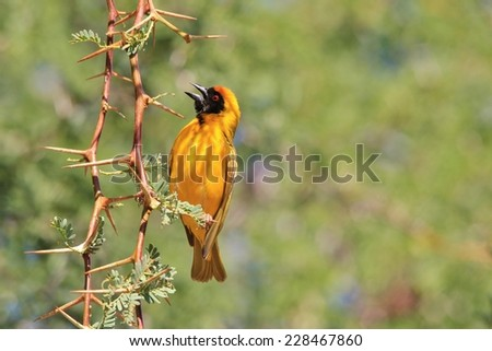 Southern Black Masked Weaver - African Wild Bird Background - Constructing Home - stock photo