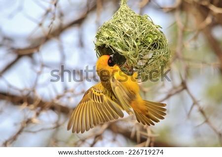 Southern Black Masked Weaver - African Wild Bird Background - Golden Craftsman Bird  - stock photo