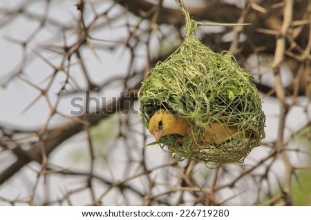 Southern Black Masked Weaver - African Wild Bird Background - Home Sweet Home - stock photo