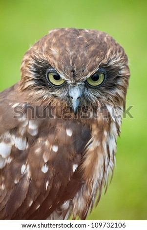 Southern Boobook (Ninox novaeseelandiae), also called the Tasmanian spotted owl